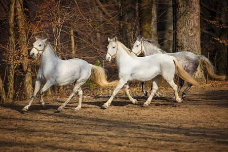 Липизанские лошади