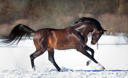 Коричневая лошадь работает на снегу