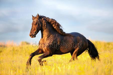 Черный фризская лошадь