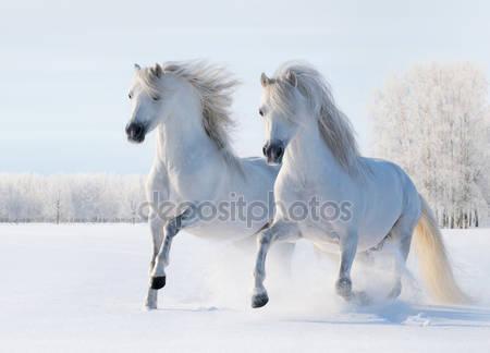 Два белых коня галопом по снегу