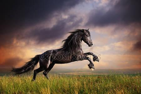 Фотообои Черная фризская лошадь галопом