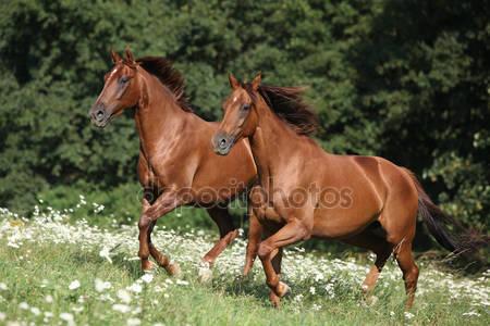 Два коричневых скакуна