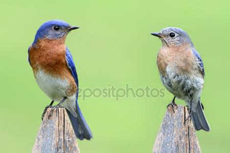 Пара восточной bluebird