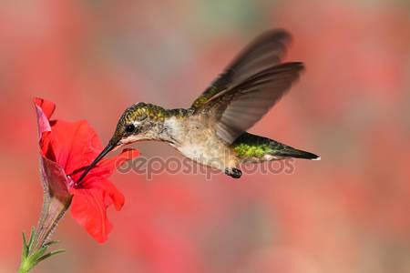 Рубиновогорлый колибри в полете