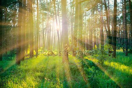 Сосновый лес на восходе солнца
