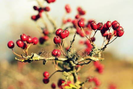 Фон ягоды боярышника