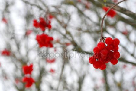 Макро ягод красной калины
